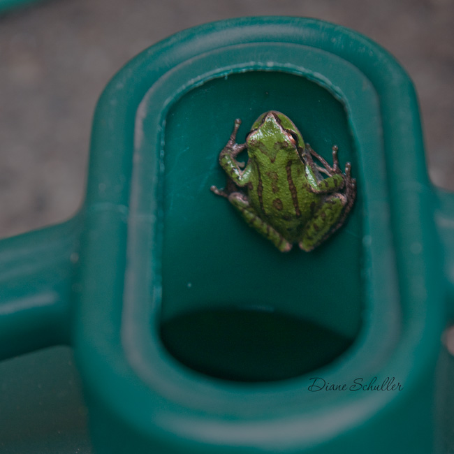 tree frog inside Hawes watering can