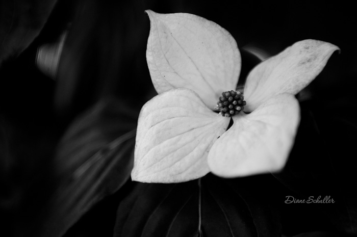 dogwood flower by ©Diane M Schuller
