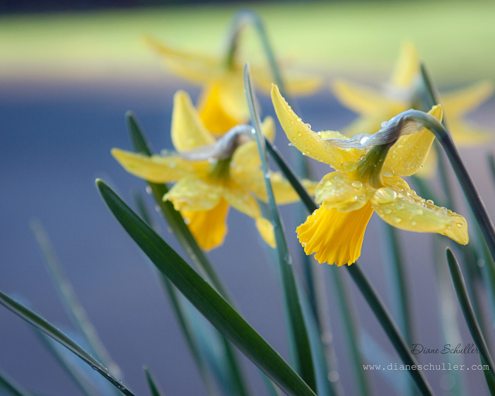 narcissus / daffodils © DianeMSchuller