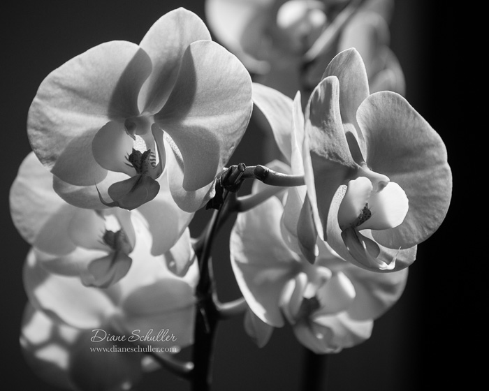 black & white orchid by ©Diane M Schuller