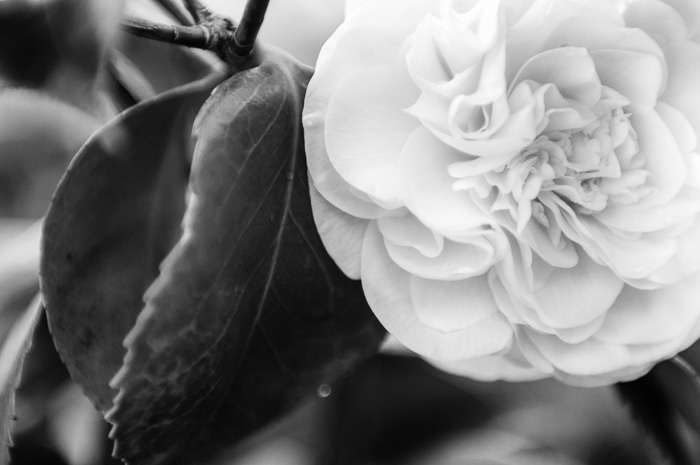 camellia in bloom, February ©Diane M Schuller