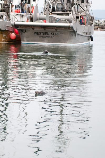 sea lions at French Creek marina ©Diane M Schuller