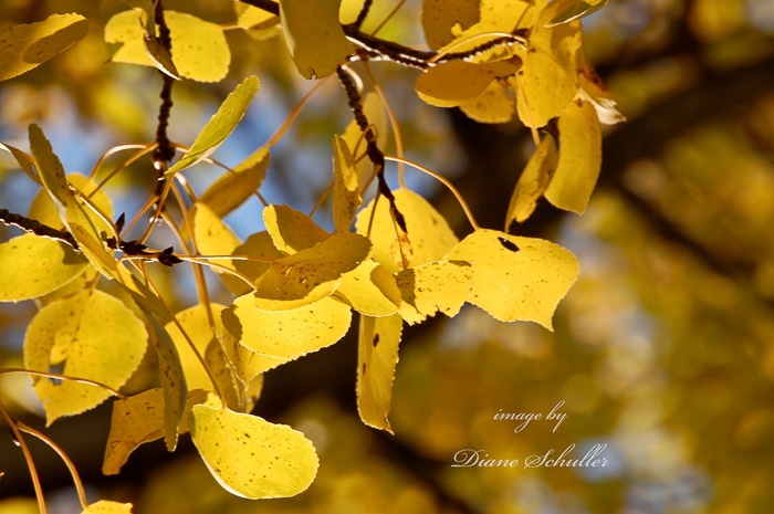 ©Diane M Schuller, aspen leaves in autumn