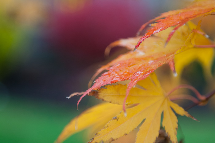 Japanese maple in autumn, Qualicum Beach BC